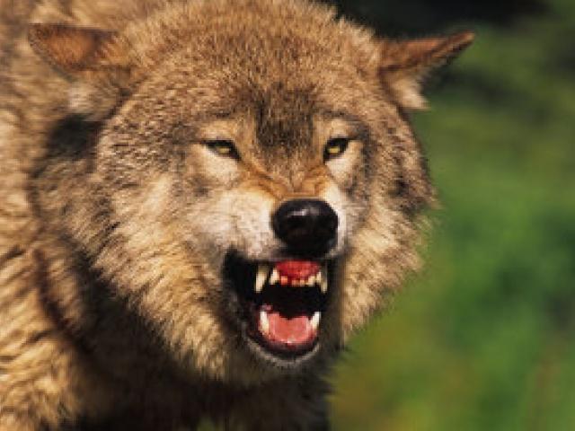 В карельском поселке волк напал на мальчика и укусил его