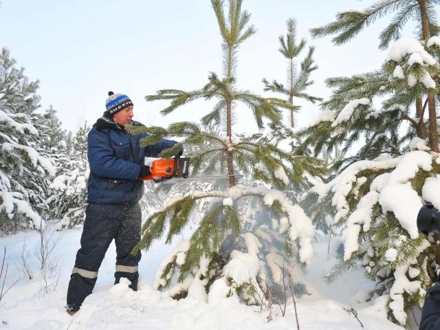 По сравнению с прошлым годом, заплатить за живое дерево придётся больше
